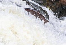 Saut du salmo Salar de saumons atlantiques images stock