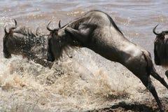 Saut du Wildebeest Photographie stock libre de droits