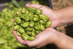 Saute à cloche-pied la récolte d'agriculture sur une main Remettez à paume avec le vert une usine mûre d'houblon, concept de bras Photos stock