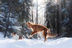Sauter élevé de chien de race de Nova Scotia Duck Tolling Retriever dehors images stock