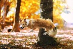 Sauter blanc jaune de chien photo stock