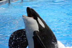 Sauter d'orque de l'eau Image libre de droits