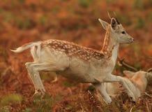 Sauter de cerfs communs de bébé image libre de droits