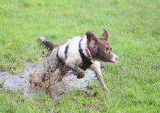 Sauter de chien sale photos libres de droits