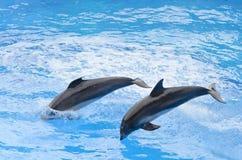 Sauter de dauphin de Bottlenose Photos stock