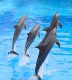 Sauter de dauphin de Bottlenose Image libre de droits