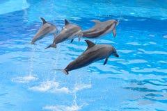 Sauter de dauphin de Bottlenose Images libres de droits
