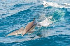 Sauter de dauphins Photo libre de droits