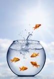 Sauter de Goldfish de l'eau photos libres de droits