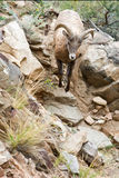 Sauter de moutons Image libre de droits