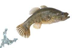 Sauter de poissons d'une eau Image stock