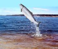 Sauter des saumons de l'eau images stock