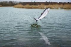 Sauter des saumons de l'eau Photos libres de droits