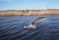 Sauter des saumons de l'eau images libres de droits