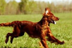 Sauter heureux de poseur irlandais de chien Photos stock