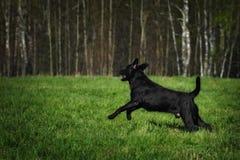 Sauter noir de chien de Labrador d'amusement Photo stock