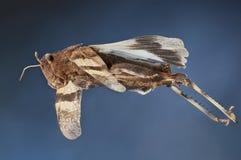Sauterelle à ailes par bleu volante Photos libres de droits
