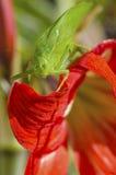 Sauterelle Photos libres de droits
