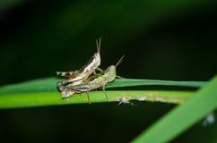 Sauterelle Photo libre de droits