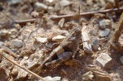 Sauterelle camouflée Image libre de droits
