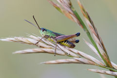 Sauterelle (Chorthippus Parallelus) Photo libre de droits