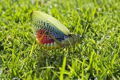 Sauterelle clouant le vol 02 Photo libre de droits