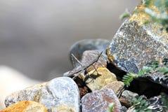 Sauterelle de bâton le maître du camouflage Image libre de droits