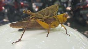 sauterelle de deux insectes Photographie stock libre de droits