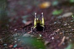 sauterelle en bois rayée de jaune sur la tête et les ailes images libres de droits