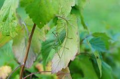Sauterelle en corinthes Image stock
