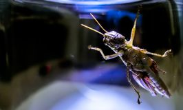 Sauterelle en sortie de recherche en verre claire Photographie stock libre de droits