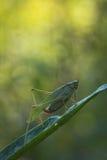 sauterelle Fourchette-coupée la queue de buisson Photo stock