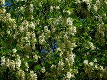 Sauterelle noire, pseudoacacia de Robinia images libres de droits