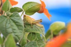 Sauterelle se cachant dans les fleurs oranges Image libre de droits