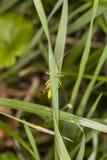 Sauterelle se cachant derrière l'herbe Photographie stock