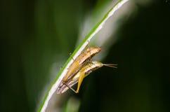 Sauterelle sur l'herbe Photo libre de droits