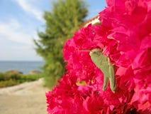 Sauterelle sur la bouganvillée Photos libres de droits