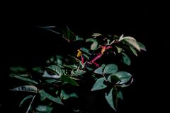 Sauterelle sur la branche d'arbre pendant la nuit photographie stock libre de droits