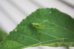 Sauterelle sur la feuille verte Photos libres de droits