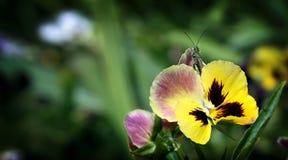Sauterelle sur la fleur de l'alto tricolore Photographie stock libre de droits