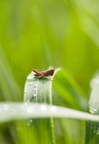 Sauterelle sur la lame d'herbe Photos libres de droits