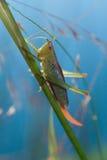 Sauterelle sur la lame de l'herbe Photo libre de droits