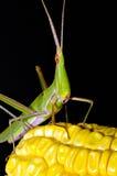Sauterelle sur le maïs Photo libre de droits