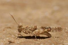Sauterelle sur le sable images stock
