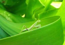 Sauterelle vert clair sur la feuille vert clair Image libre de droits