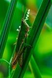 Sauterelle verte énorme Image libre de droits