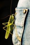Sauterelle verte énorme débarquée sur la poche de blues-jean Images libres de droits
