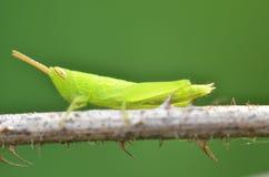 Sauterelle verte Photo libre de droits