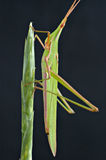 Sauterelle verte Images stock