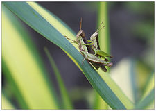 Sauterelle verte photo stock